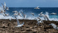Terns Stock Photography - 51792772