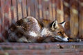 Fox In Cage Royalty Free Stock Photos - 51814278