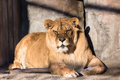 Lion In Cage Royalty Free Stock Images - 51814649