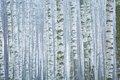 Frosty Birch Forest Royalty Free Stock Image - 51876506
