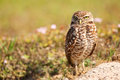 Burrowing Owl Standing On The Ground Stock Image - 51884401