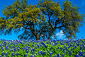 Texas Bluebonnet Flowers With Tree Stock Image - 51889121
