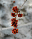 Red Flower Buds On A Tree Royalty Free Stock Photos - 5198348