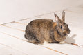 Brown Bunny Royalty Free Stock Photo - 51901815