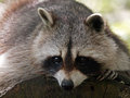 Raccoon Royalty Free Stock Photo - 51929915