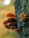 Mushrooms On A Tree Stock Photography - 51930372