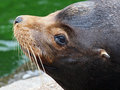 Sealion Stock Photo - 51933090