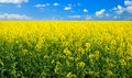 Rape Field Royalty Free Stock Images - 51938829