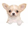 Chihuahua Puppy Above White Banner Stock Photo - 51940230
