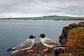 Couple Of Swallow Tailed Gull In The Galapagos Stock Image - 51951791