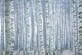 Frozen Birch Forest Royalty Free Stock Image - 51962346
