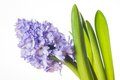Hyacinth Royalty Free Stock Photography - 51970567