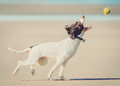 Dog Catching Ball Stock Photography - 51982602