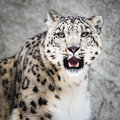 Snow Leopard XIII Stock Photography - 51993072