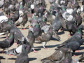 Pigeons Royalty Free Stock Photography - 529657