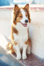 Red Dog Border Collie In Sunlight Stock Images - 52014184
