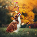 Young Border Collie Dog Playing With Leaves In Autumn Stock Photography - 52014192