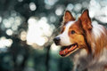 Red Dog Border Collie In Sunlight Stock Images - 52015224
