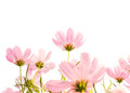 Cosmos Flowers Isolated White Background Stock Photography - 52037762