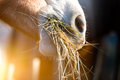 Horse Eating Grass Stock Image - 52086901