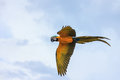 Blue And Yellow Macaw Flying Stock Images - 52088114