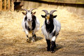 Domestic Goats Stock Photography - 52094612