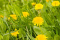 Dandelion By Springtime Royalty Free Stock Images - 5210969