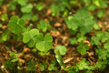 4 Leaf-Clover Forest Royalty Free Stock Image - 5219336