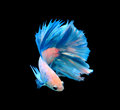 White And Blue Siamese Fighting Fish, Betta Fish Isolated On Bla Royalty Free Stock Image - 52133496