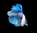 White And Blue Siamese Fighting Fish, Betta Fish Isolated On Bla Stock Image - 52133881