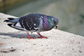 A Pigeon - Wild Bird Stock Photos - 52137123