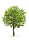 Green Leafy Tree On White Royalty Free Stock Image - 52151676