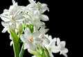 Bouquet Of White Paperwhite Narcissus Flowers Stock Photo - 52152300