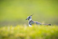 Northern Lapwing Royalty Free Stock Photography - 52166747