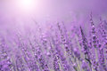 Lovely Sunny Purple Lavender Flower Background Royalty Free Stock Photo - 52175585