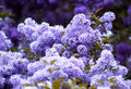 Bunch Of Violet Lilac Flower Royalty Free Stock Photo - 5220355