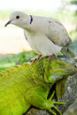 Iguana And Pigeon Royalty Free Stock Photo - 5223585