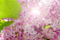 Lilac Royalty Free Stock Images - 5223769
