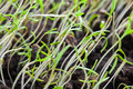 Young Green Sprouts Of Spring Grass Over Dark Soil Royalty Free Stock Image - 52223546