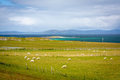 Sheep In Iona, A Small Island In The Inner Hebrides Off The Ross Of Mull On The Western Coast Of Scotland. Stock Photo - 52232230