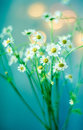 Camomile Bouquet Stock Image - 52246391