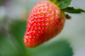 Strawberry Stock Photography - 52270592