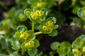 Plant Portrait Opposite-leaved Golden Saxifrage Royalty Free Stock Photography - 52276047