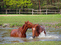 Two Sorrel Horse  Bath In A Pond Royalty Free Stock Photo - 52290775
