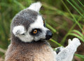 Ring-tailed Lemur (Lemur Catta) Royalty Free Stock Photos - 52294278