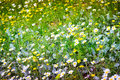 Daisy Field In A Day Of Spring Royalty Free Stock Image - 52313766