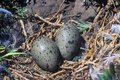 Close-up Of Seagull Nest With Eggs,, Anacapa, Channel Islands National Park Royalty Free Stock Photo - 52315455