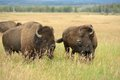 Bison Pair Stock Photography - 52323452