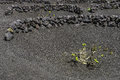 Lanzarote La Geria Vineyard On Black Volcanic Soil Stock Photos - 52373303