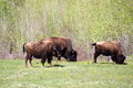 Grazing Bison Stock Images - 52395954